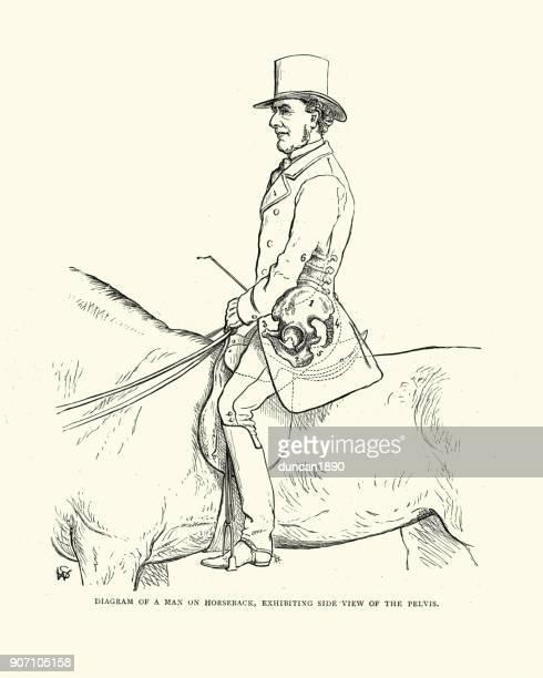 victorian diagram, man on horseback showing side-view of the pelvis - horseback riding stock illustrations, clip art, cartoons, & icons