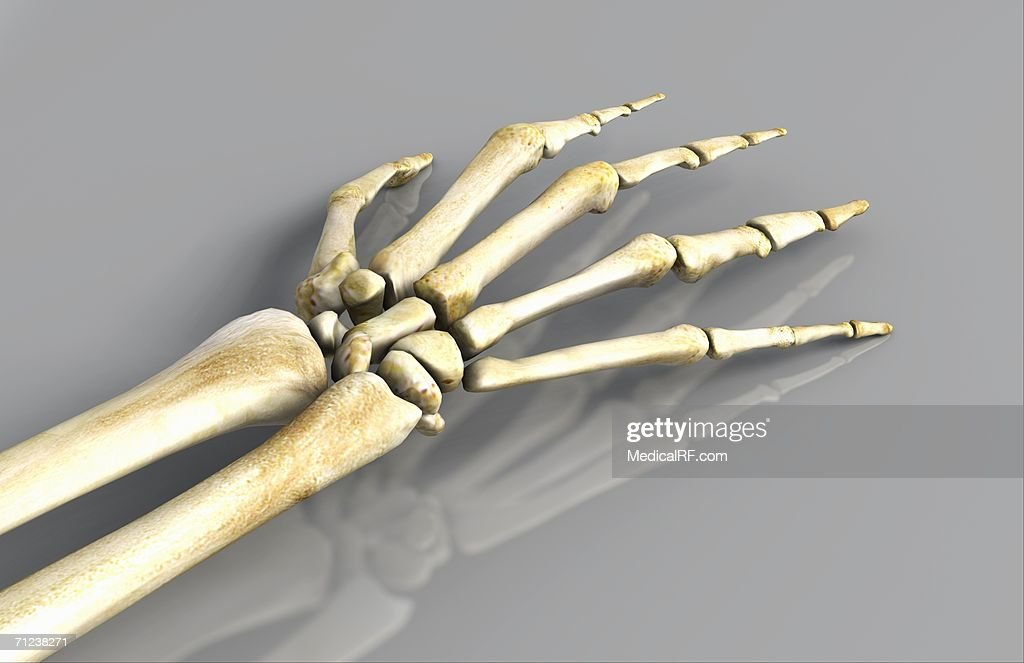 View Of A Skeletal Arm And Hand Stock Illustration Getty Images
