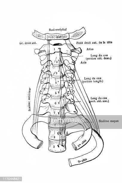 頸椎の前部側面の眺め - 靭帯点のイラスト素材/クリップアート素材/マンガ素材/アイコン素材