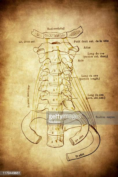 view of the anterior aspect of the cervical spine - human vertebra stock illustrations, clip art, cartoons, & icons