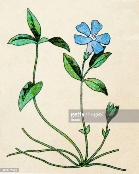 vinca minor (lesser periwinkle), plants antique illustration - plant stage stock illustrations, clip art, cartoons, & icons