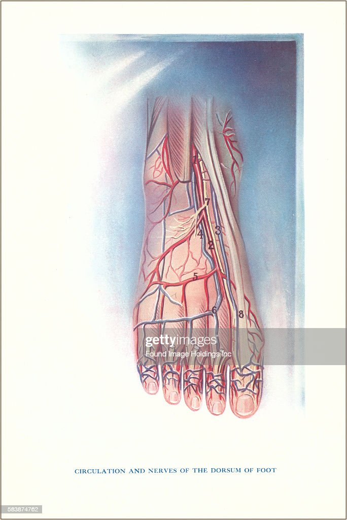 Circulation and Nerves of Dorsum of Foot Pictures | Getty Images