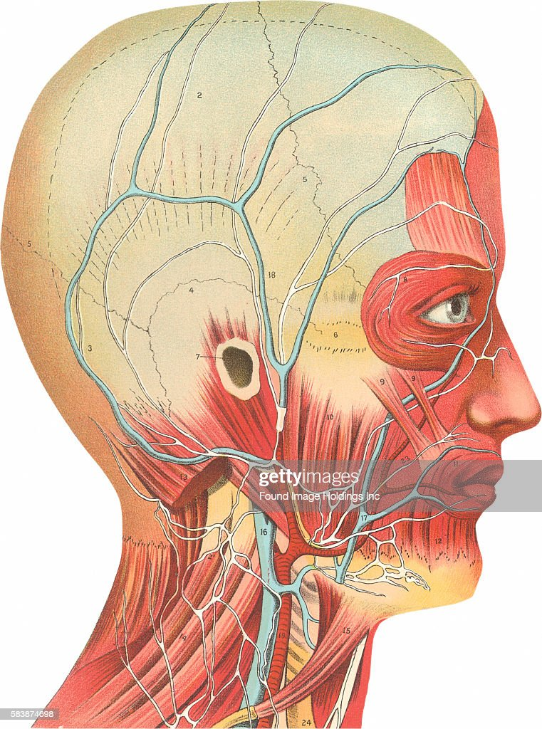 Muscles, Circulation, Nerves of the Head and Neck Pictures | Getty ...