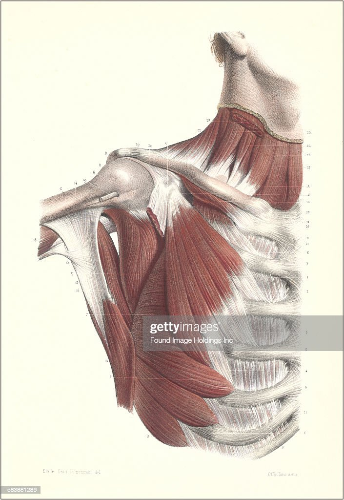 Musculature of the Upper Chest and Neck Pictures | Getty Images