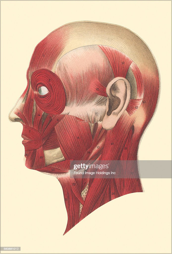 Muscles Of The Head And Face Side View Pictures Getty Images