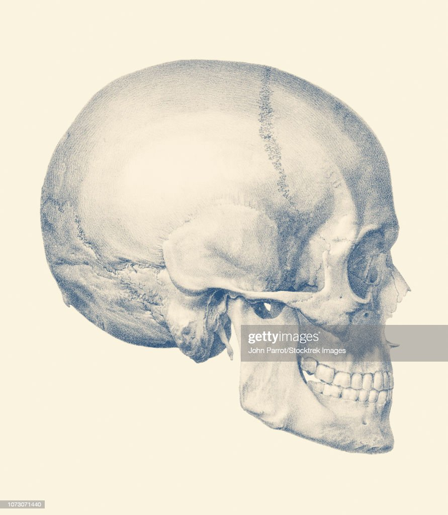 Vintage Anatomy Print Features A Side View Of The Human Skull Stock