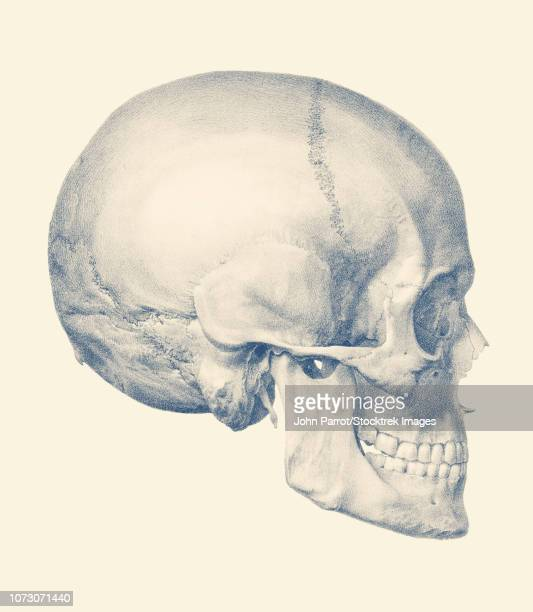 Vintage anatomy print features a side view of the human skull.