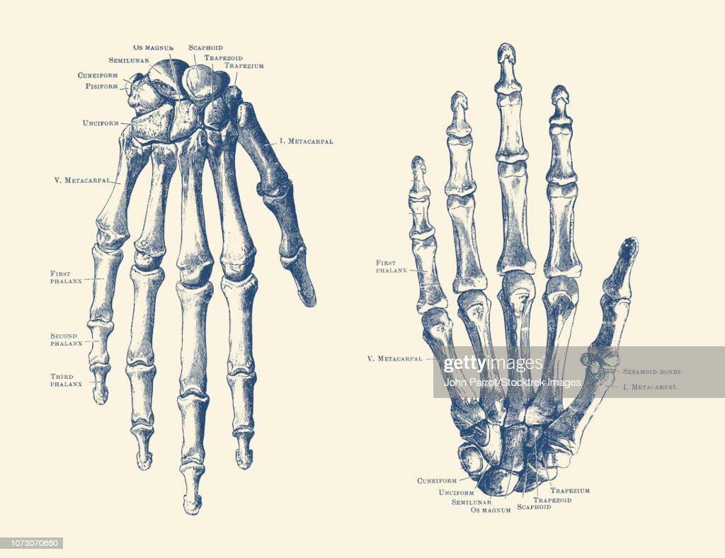 Vintage Anatomy Print Features The Hand Of A Human Skeleton With