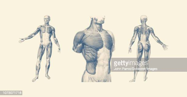 illustrations, cliparts, dessins animés et icônes de vintage anatomy print of the human muscular system from multiple viewpoints. - fesses