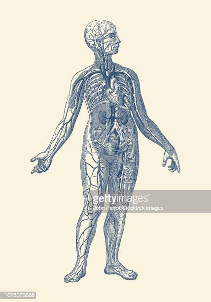 Vintage anatomy print of the human vascular system, with veins and heart.