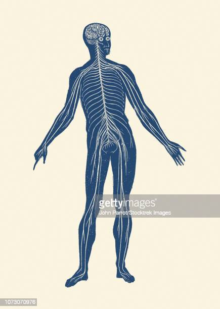 vintage anatomy print of the lymphatic system within a human body. - central nervous system stock illustrations, clip art, cartoons, & icons