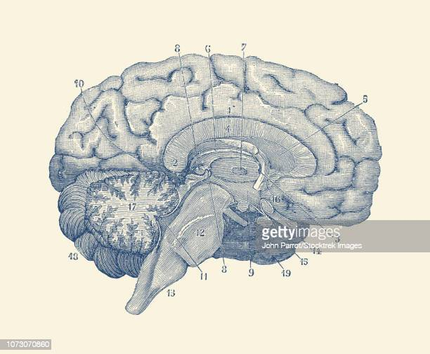 vintage anatomy print showing a diagram of the human brain. - neuroscience stock illustrations