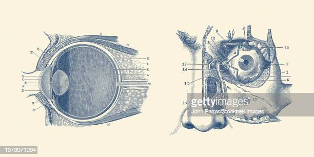 ilustraciones, imágenes clip art, dibujos animados e iconos de stock de vintage anatomy print showing a diagram of the human eye anatomy. - narizhumano