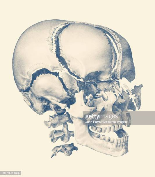Vintage anatomy print showing a fragmented view of the human skull.