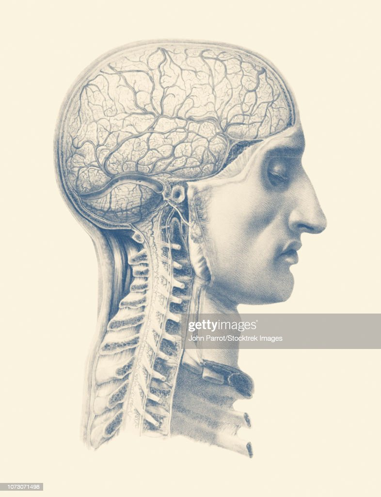 Vintage Anatomy Print Showing A Side View Of The Human Brain And