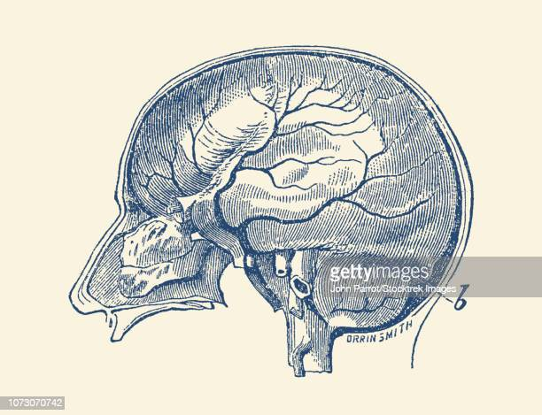 Vintage anatomy print showing a side view of the human brain.