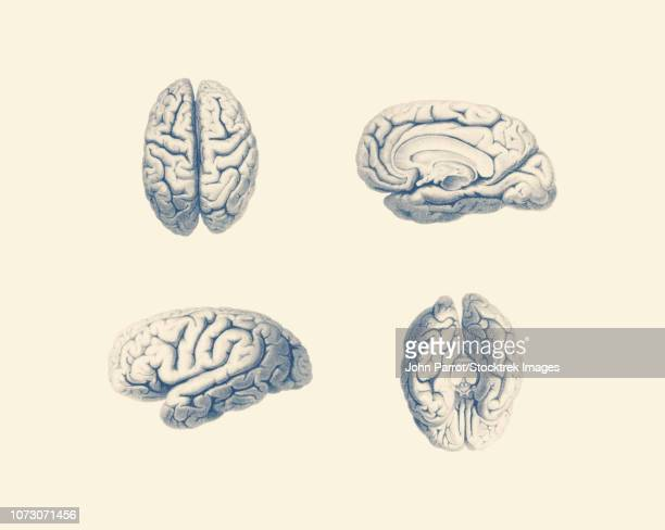 vintage anatomy print showing multiple viewpoints of the human brain. - diencephalon stock illustrations, clip art, cartoons, & icons