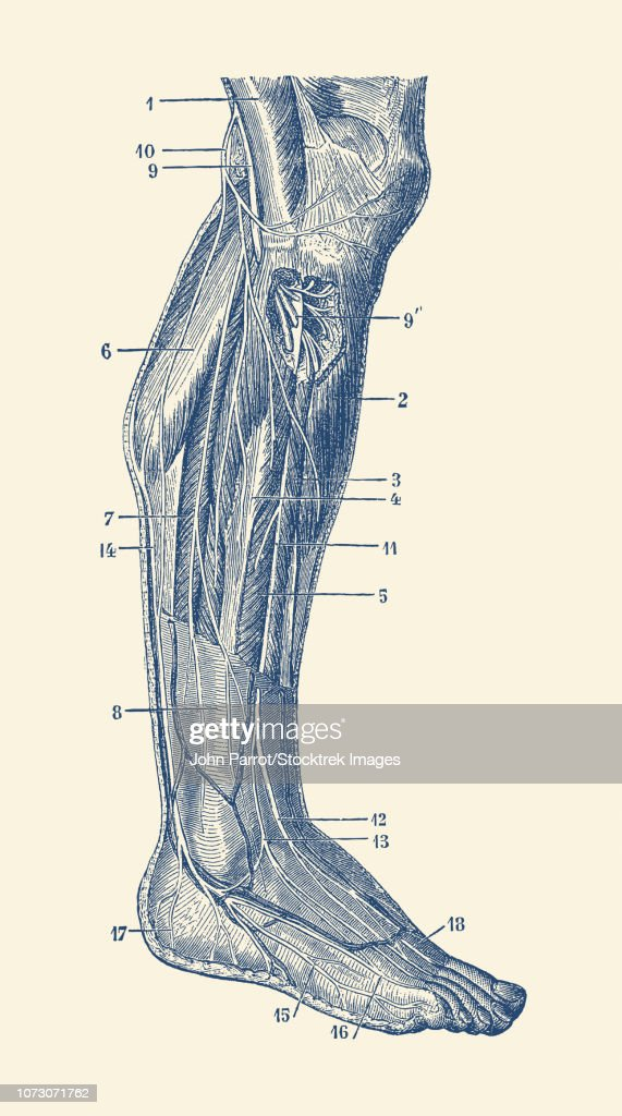 Vintage Anatomy Print Showing The Human Muscular System Of The Right