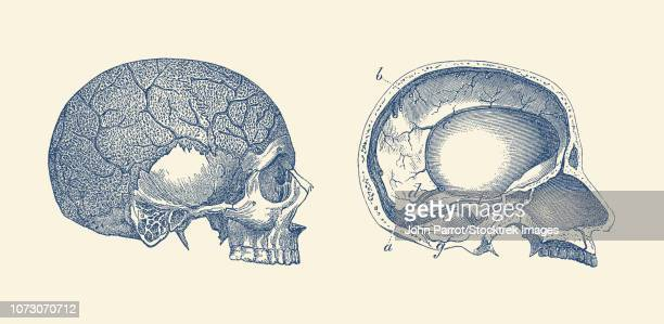 vintage anatomy print showing the side and inside views of a human skull. - trigeminal nerve stock illustrations, clip art, cartoons, & icons