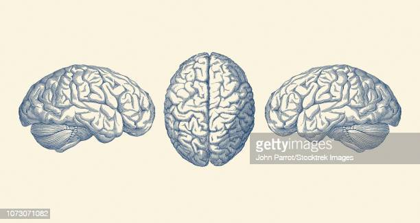Vintage anatomy print showing three views of the human brain.