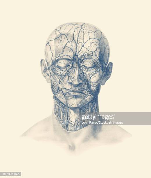 vintage anatomy print showing veins, arteries, and muscles throughout the human head. - choroid stock illustrations, clip art, cartoons, & icons