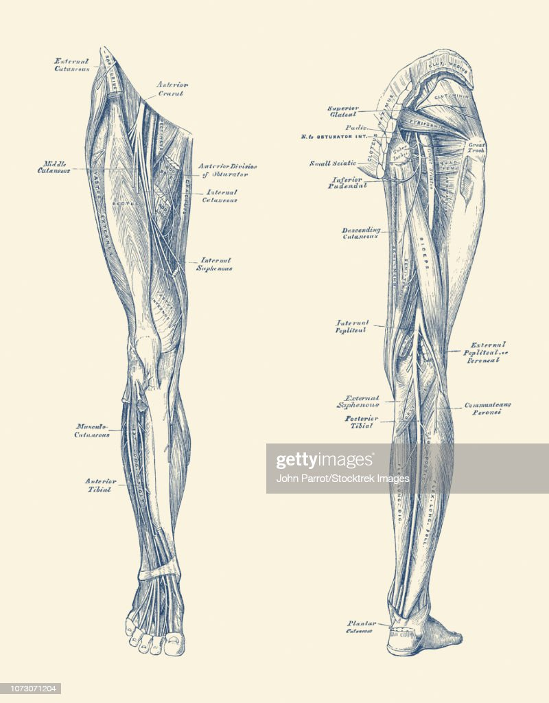 Vintage Diagram Depicting The Muscles And Arteries In The Legs Stock