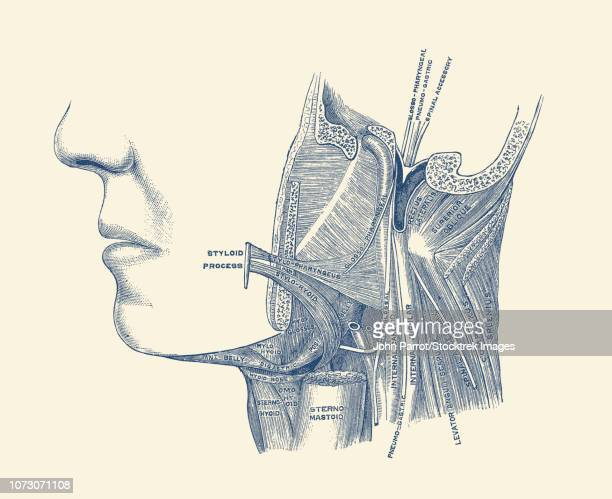 vintage diagram of the neck and jaw, labeling each bone, muscle and artery. - cardiopulmonary system stock illustrations, clip art, cartoons, & icons