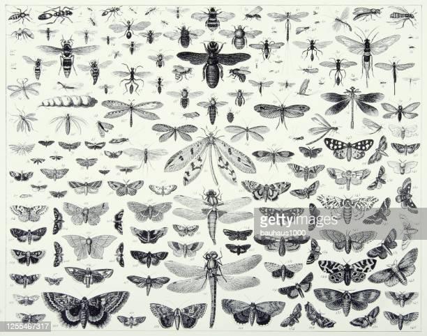 ヴィンテージ刻まれたアンティーク、ヒメノプテラ、ディプテラ、鱗翅目、オドナタ彫刻アンティークイラストレーションの昆虫、1851年発行 - 昆虫点のイラスト素材/クリップアート素材/マンガ素材/アイコン素材