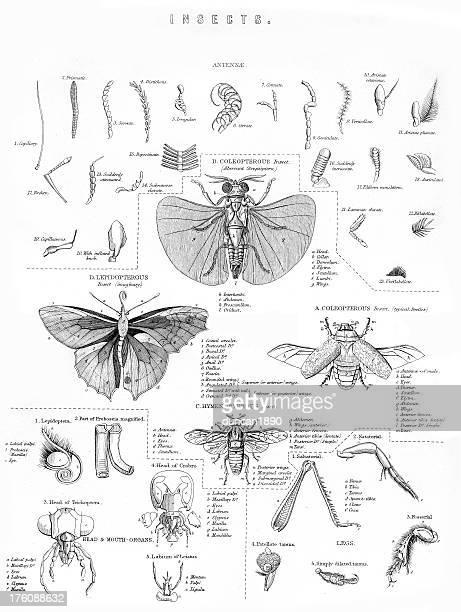 Vintage grabado de insectos
