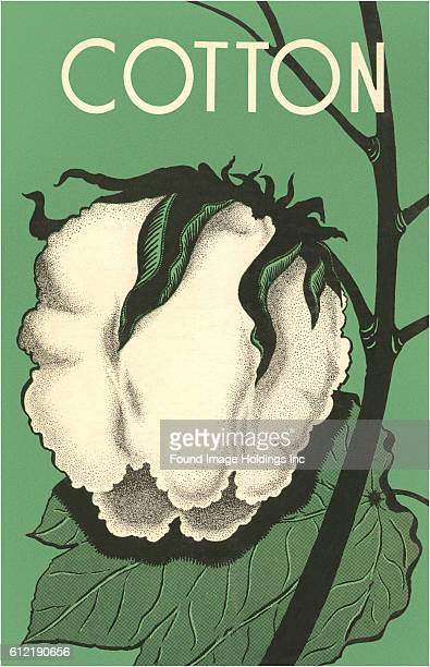 Vintage illustration of a cotton boll against a green background