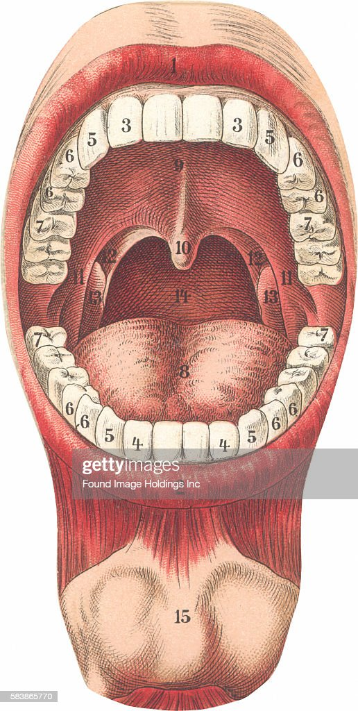 Vintage Illustration Of Diagram Of Mouth And Teeth 1910s News