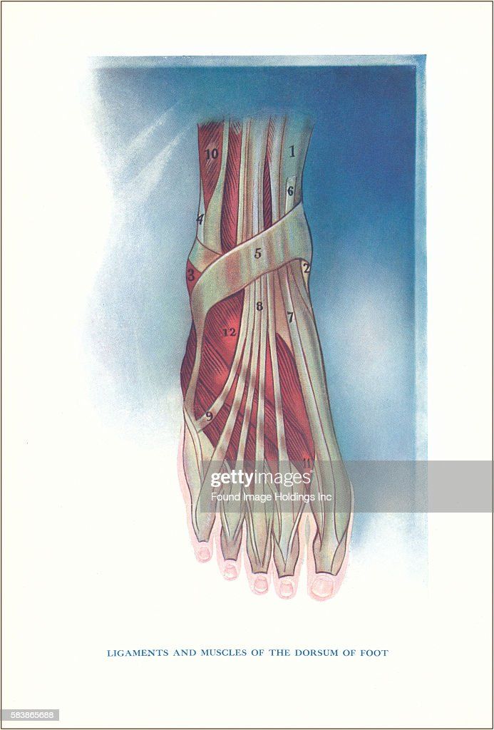 Ligaments and Muscles of Dorsum of Foot Pictures | Getty Images