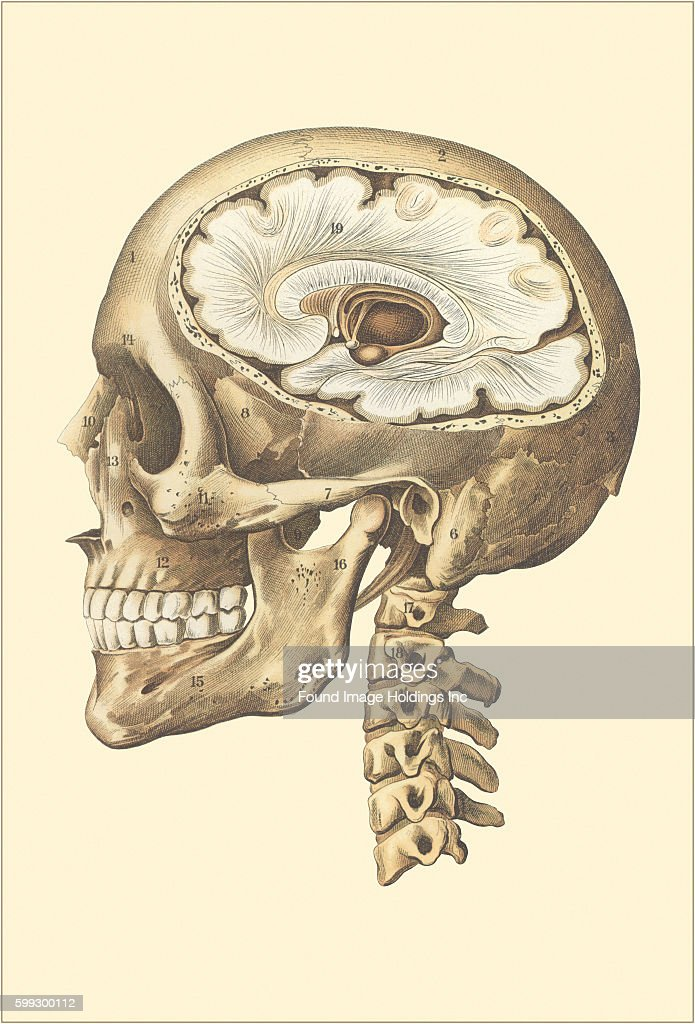 Interior Of Cranium Side View Pictures Getty Images