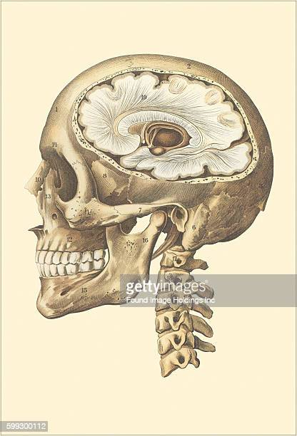 Vintage illustration of the interior of the cranium side view showing the brain
