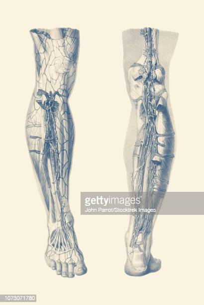 vintage print showing a dual view of the human muscular system of the right leg. - achilles tendon stock illustrations