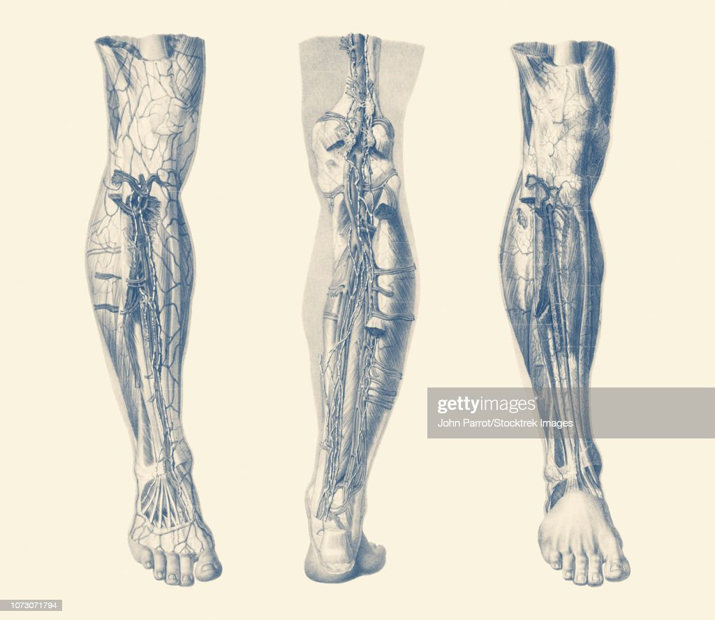 Vintage Print Showing Three Views Of The Human Muscular System Of