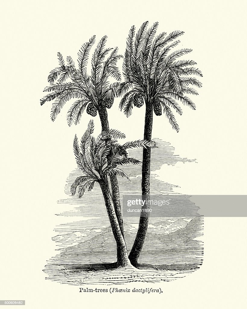 Vintage woodcut of palm trees stock illustration getty images vintage woodcut of palm trees stock illustration thecheapjerseys Gallery