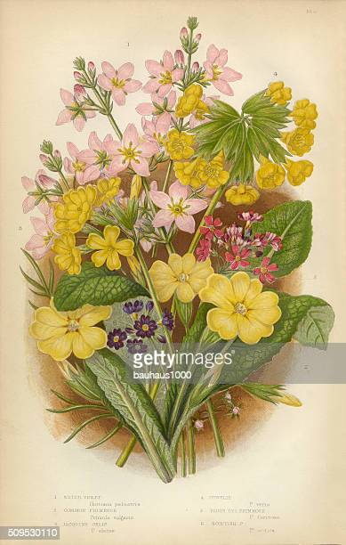 Violet, Primrose, Evening Primrose, Oxlip, Cowslip, Victorian Botanical Illustration