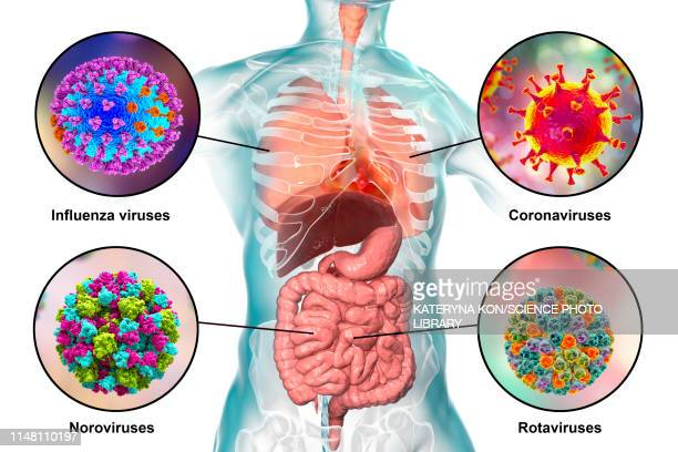 viral respiratory and enteric infections, illustration - human intestine stock illustrations