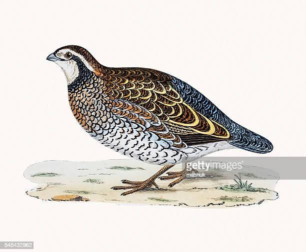 virginian partridge - quail bird stock illustrations, clip art, cartoons, & icons