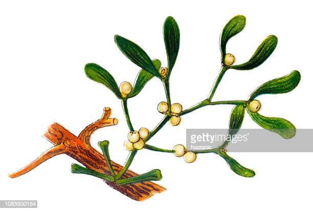 viscum album commonly known as european mistletoe, common mistletoe or simply as mistletoe - mistletoe stock illustrations
