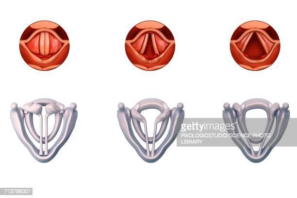 ilustraciones, imágenes clip art, dibujos animados e iconos de stock de vocal cords anatomy, illustration - cuerdas vocales