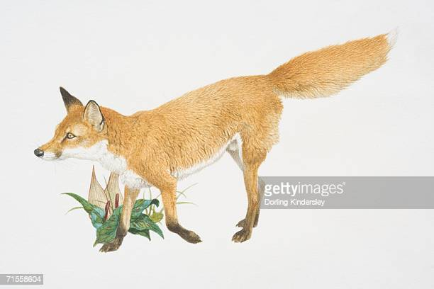 Vulpes vulpes, red fox, side view.