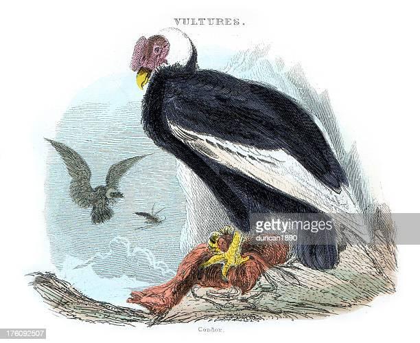 Vultures - Condor