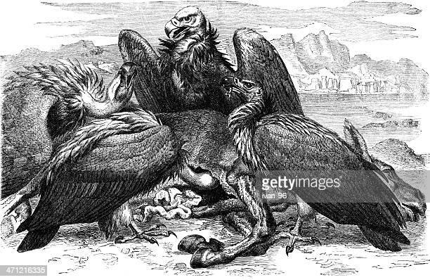 vultures - scavenging stock illustrations