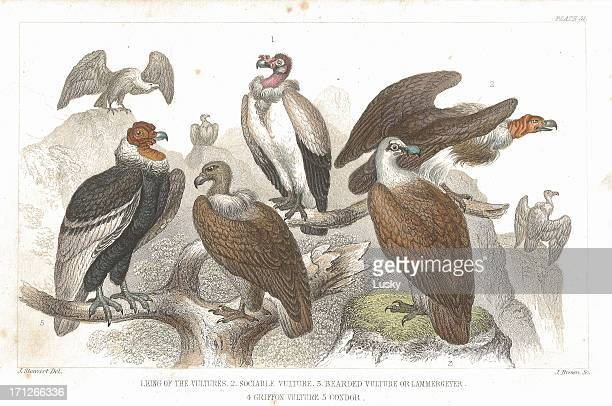 vultures old litho print from 1852 - scavenging stock illustrations