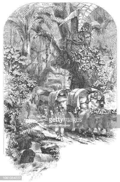 Wagon Train Transporting Coffee in Costa Rica (19th Century)
