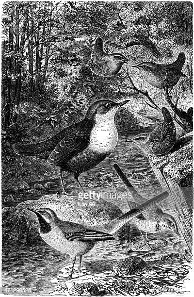 wagtail and dipper - mockingbird stock illustrations, clip art, cartoons, & icons
