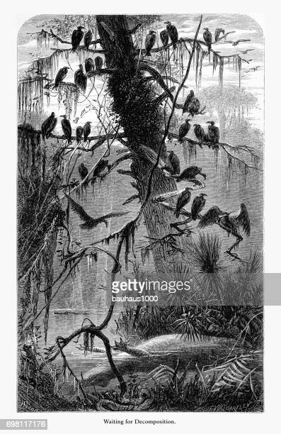 Waiting for Decomposition, Florida Swamp, Florida, United States, American Victorian Engraving, 1872