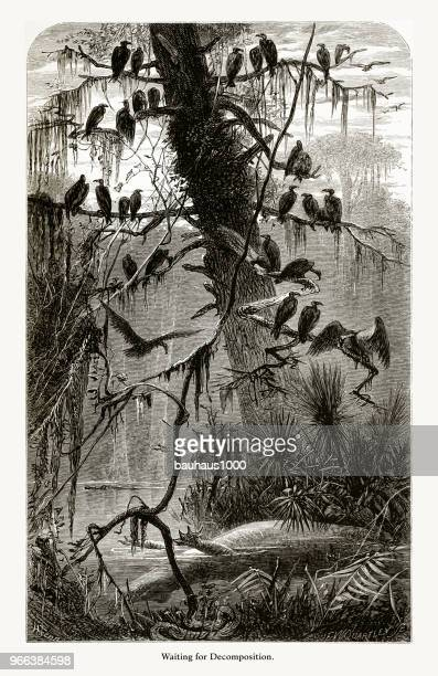 waiting for decomposition, florida swamp, florida, united states, american victorian engraving, 1872 - wilderness stock illustrations